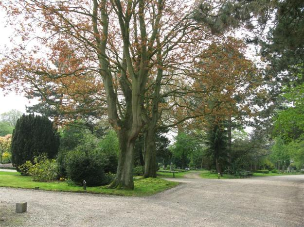 Acer platanoides Schwedleri