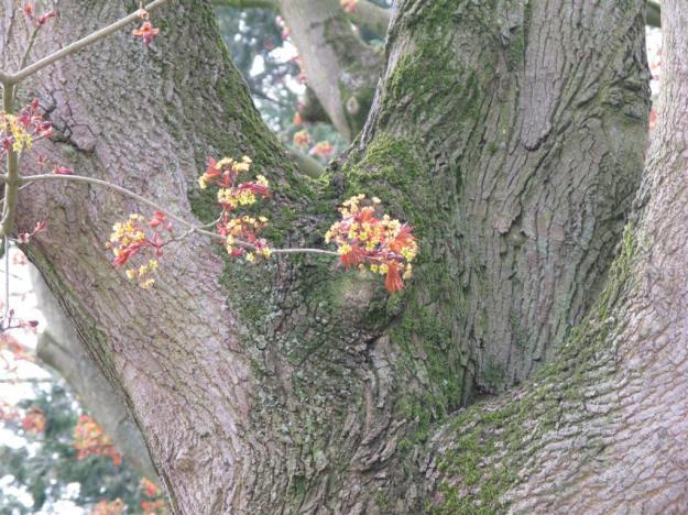 Acer platanoides Schwedleri 2