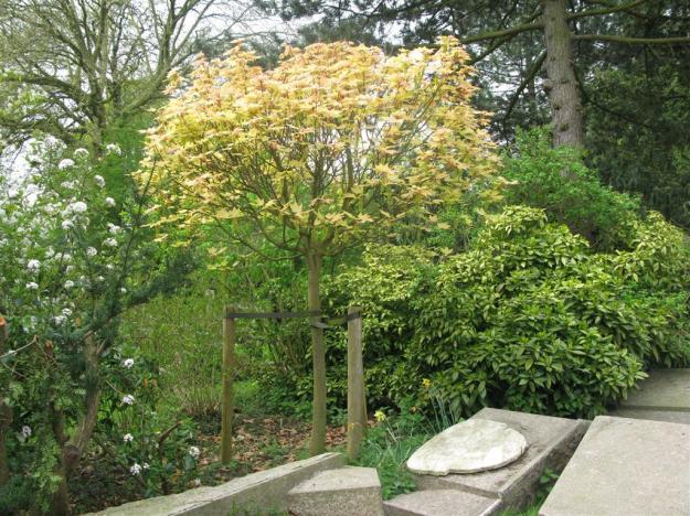Acer pseudoplatanus Brillantissimum