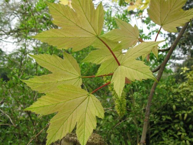 Acer pseudoplatanus Brillantissimum 2