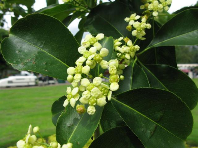 Euonymus bloem