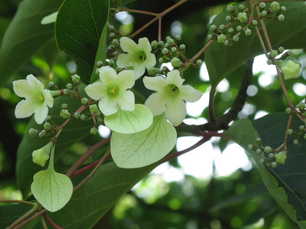 emmenopterys henryi rubiaceae wunder gesucht. Black Bedroom Furniture Sets. Home Design Ideas