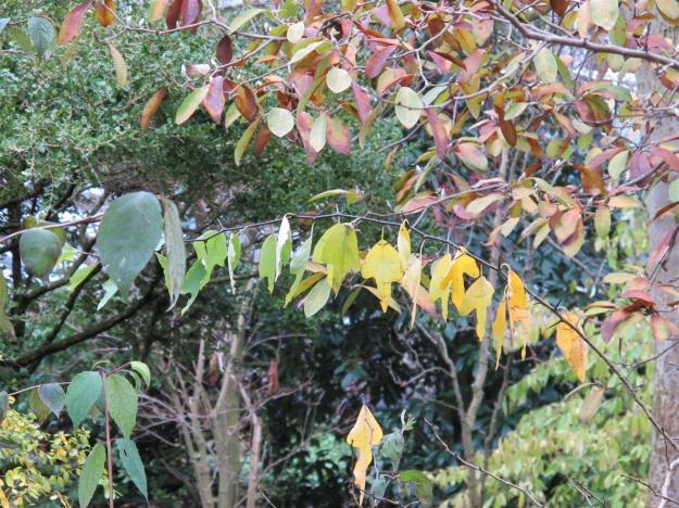 Cudrania tricuspidata