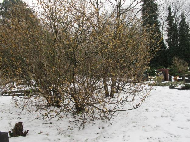 winterzoet of meloenboompje