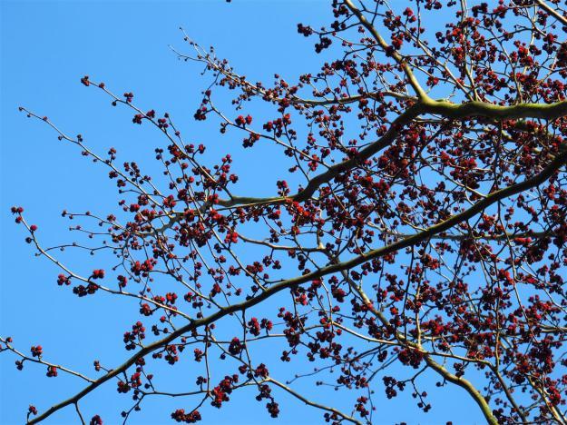 Parrotia persica Vanessa