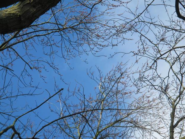Acer sacch Laciniatum Wieri