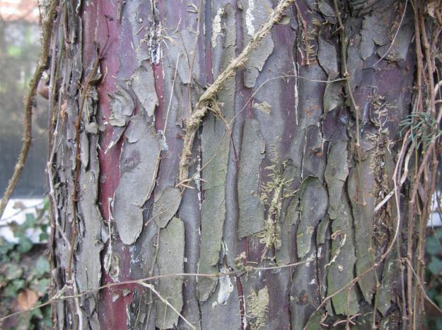 bast van Cupressus arizonica