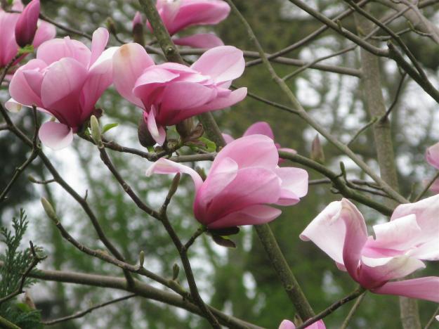 Magnolia vak 40