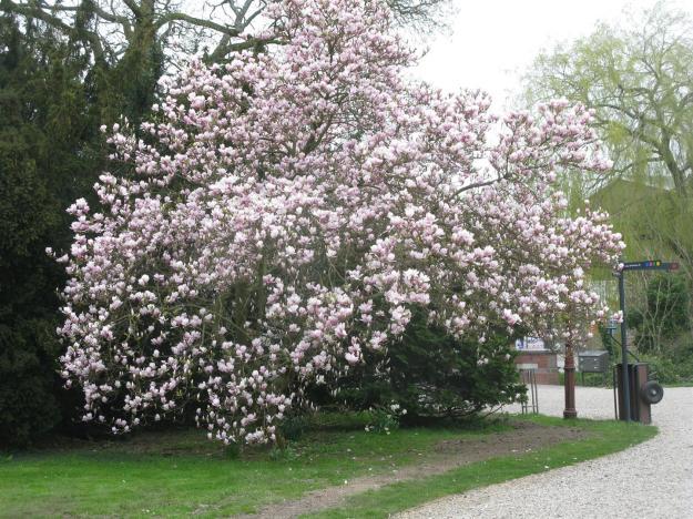 Magnolia bij portiersloge