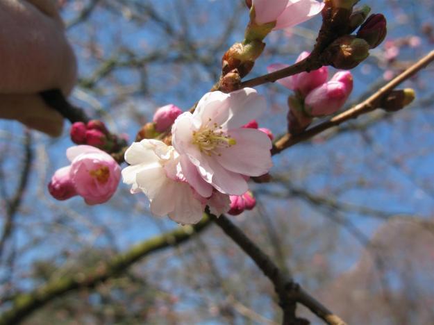 Prunus x subhirt. 'Dahlem'