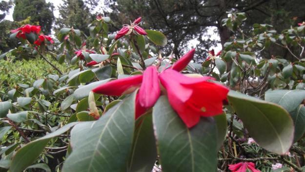 Rhodo met afwijkende bloem
