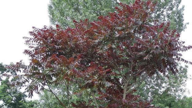 hemelboom met paars blad