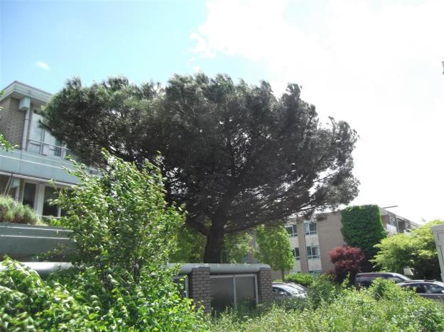 Pinus Buitenveldert