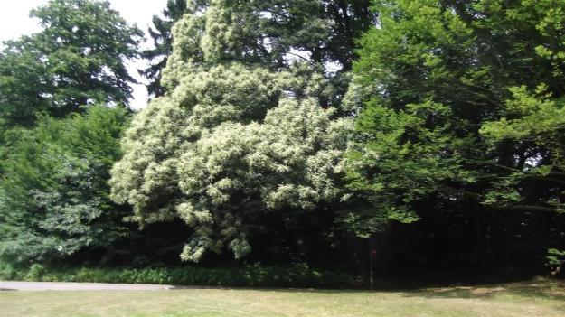 oude tamme kastanje in bloei