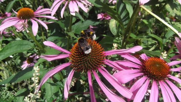 Echinacea met bijen