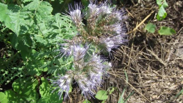 bijenplant