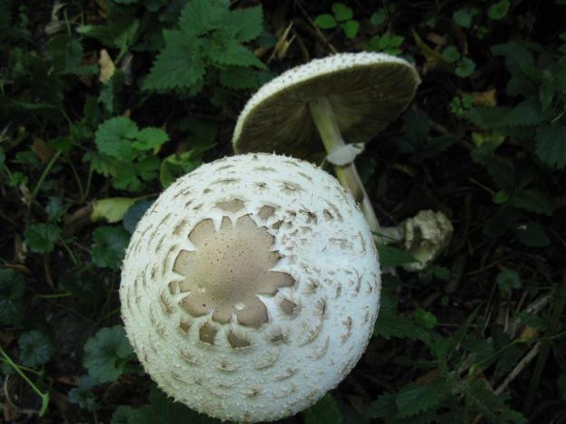 paddenstoel ABos