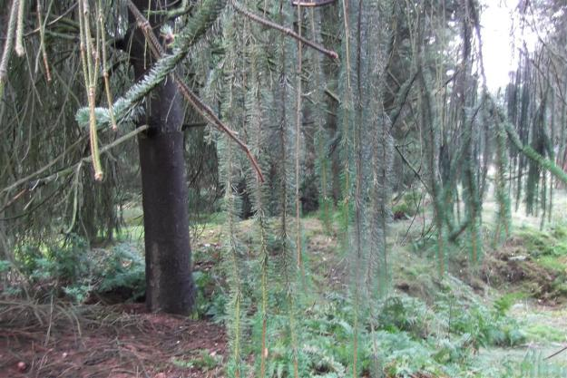onbekende naaldboom Dennenhorst