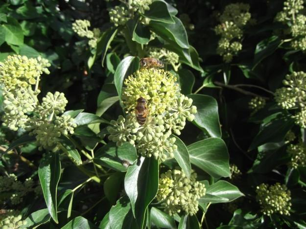 Hedera helix met bijen