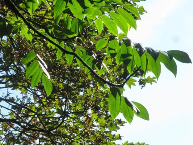 Juglans ailantifolia ABos