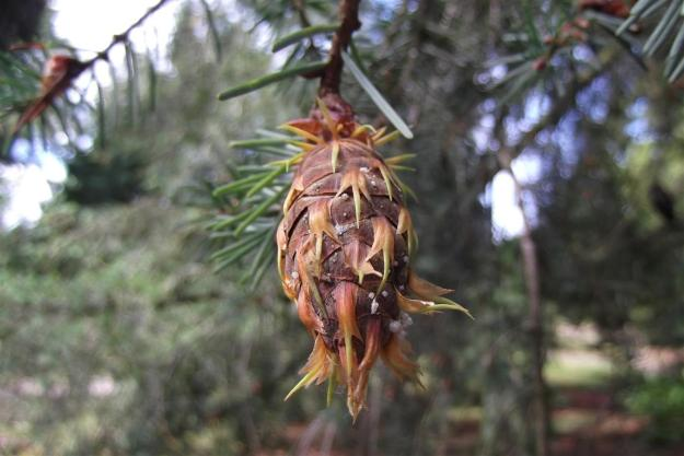 Pseudotsuga menziesii Ceasia Erecta