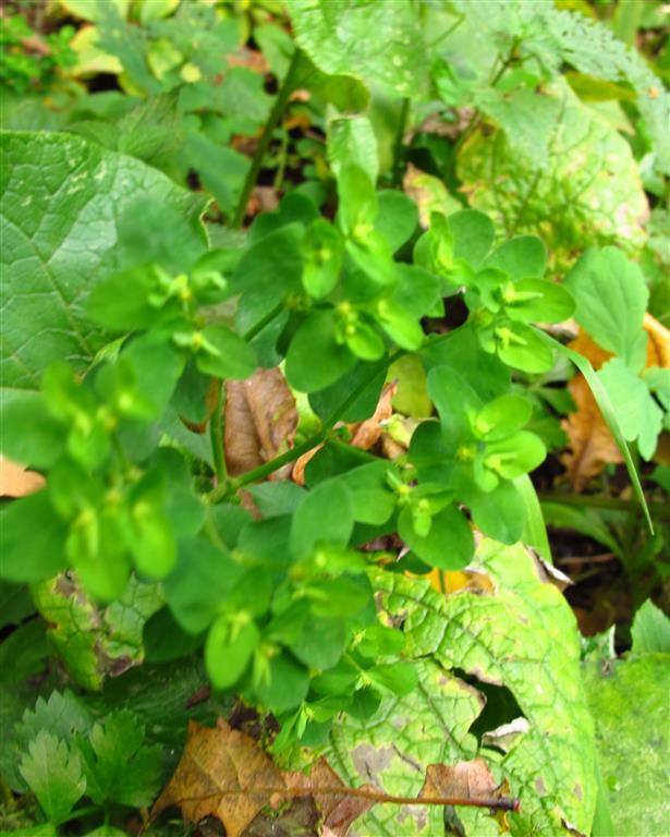 een Euphorbia