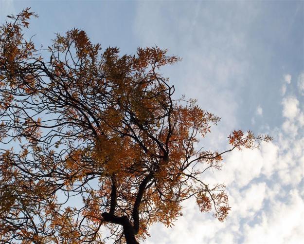 Fraxinus angustifolia Raywood in vondelpark