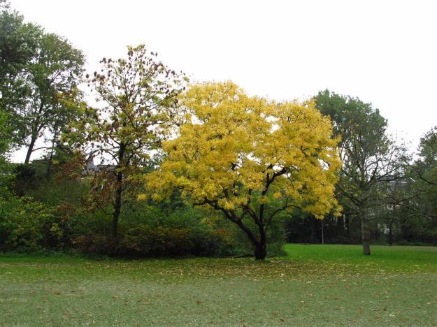 Fraxinus excelsior Aurea