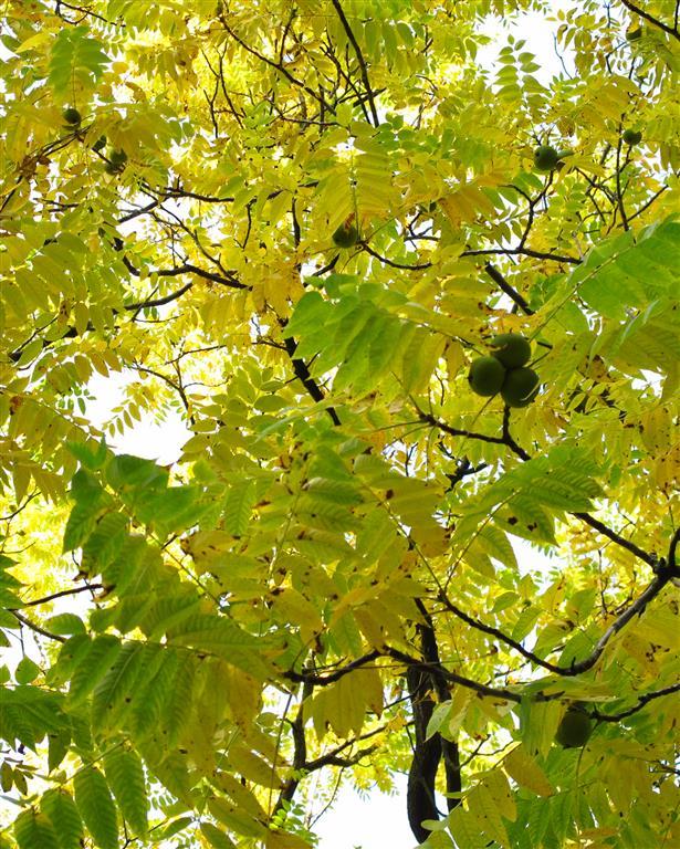 Juglans nigra Florapark
