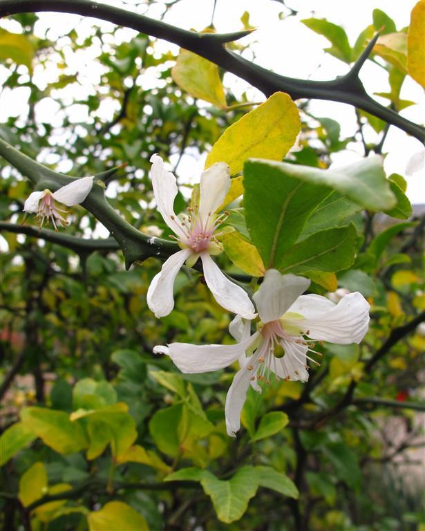 Poncirus trifoliata met bloem