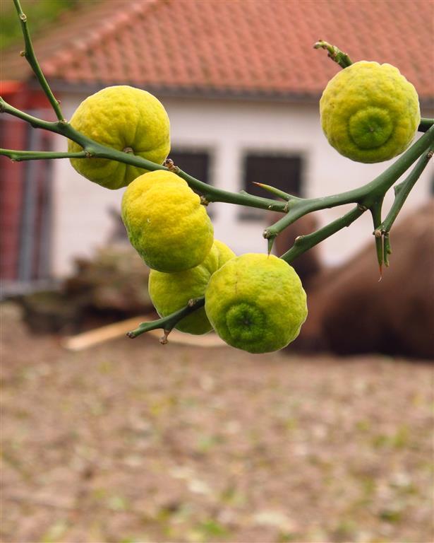 Poncirus trifoliata met vrucht
