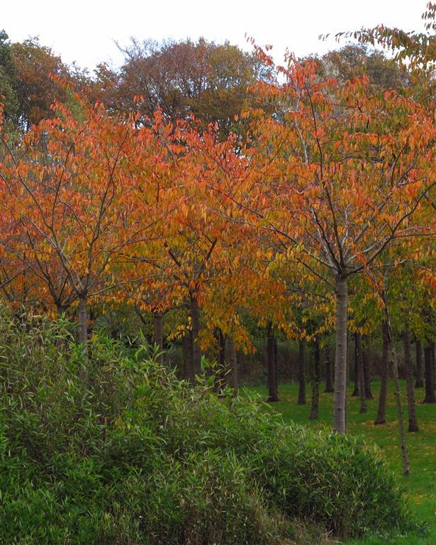 Prunus x yedoensis ABos