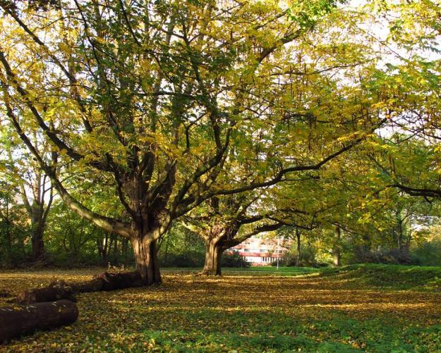 Pterocarya fraxinifolia gijsbrechtpark