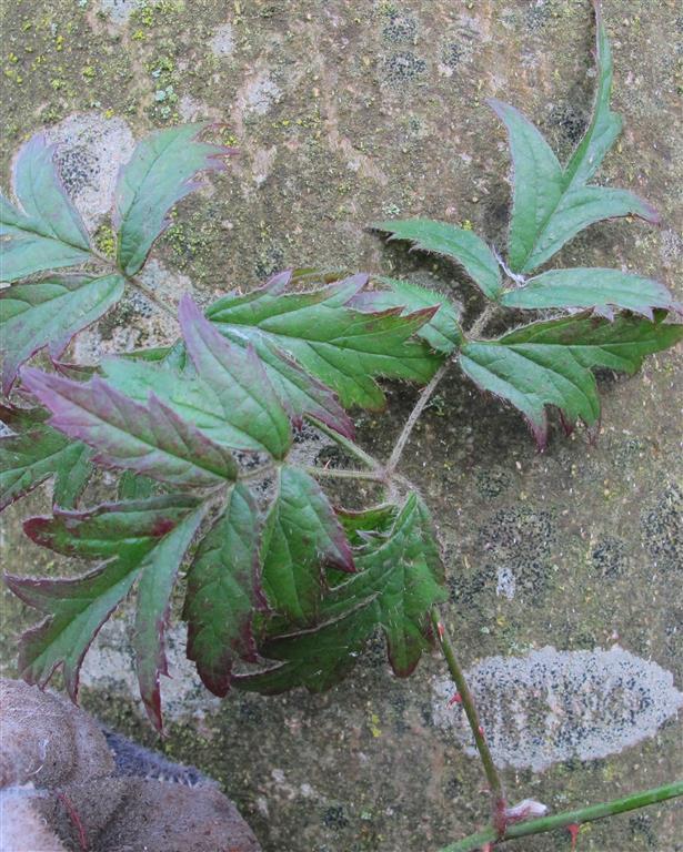 peterseliebraam = Rubus laciniatus