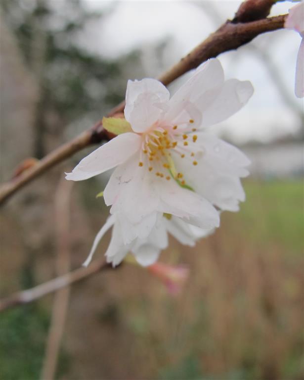 Prunus subhirtella Atumnalis