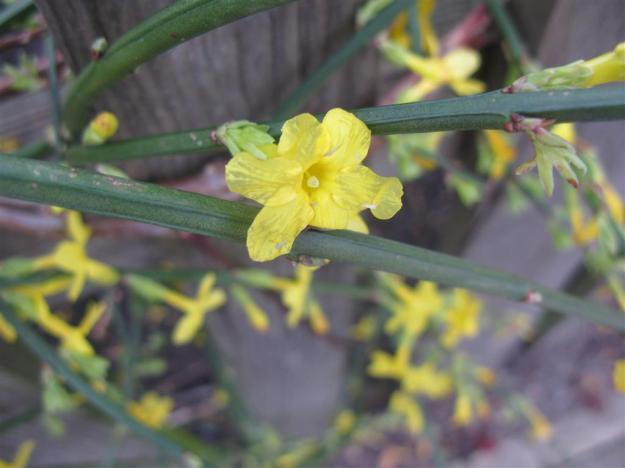 Jasminum nudiflorum te Diemen