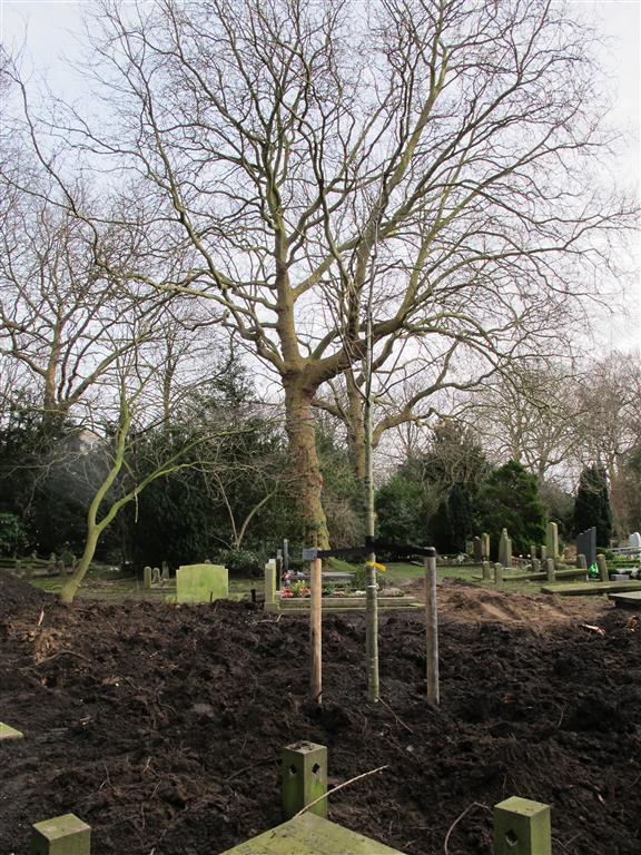 Quercus velutina 06
