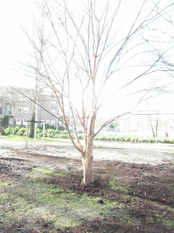 Acer griseum Kochplantsoen
