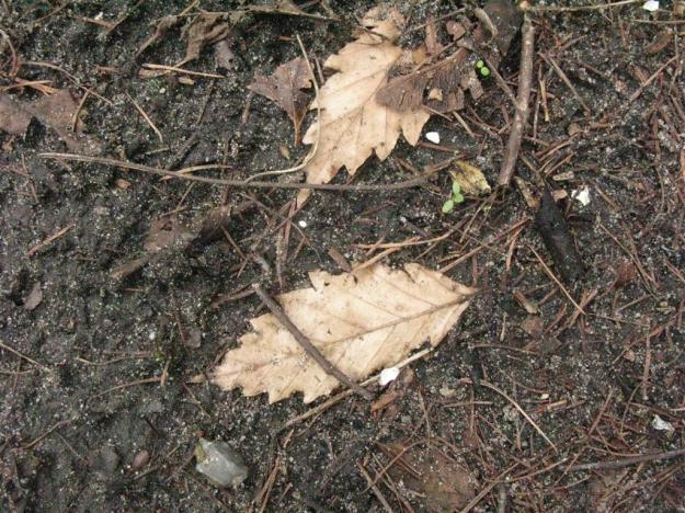 Fagus sylvatica Quercifolia