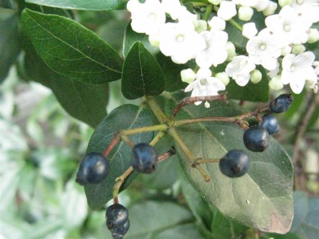 Viburnum tinus oost