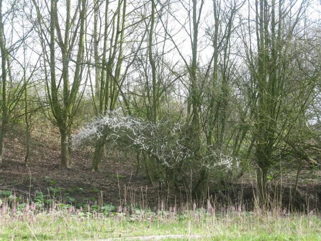Prunus spinosa riethoek