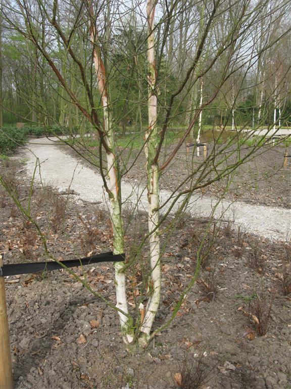 Betula albosinensis AP