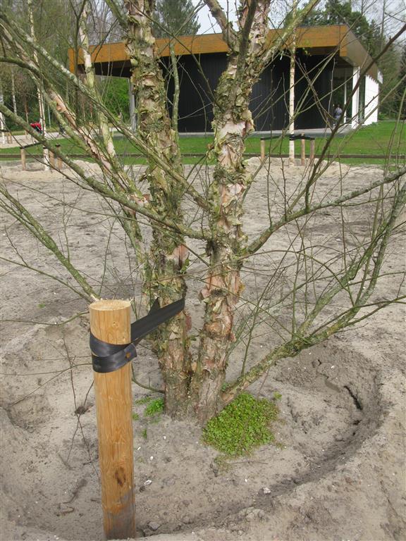 Betula nigra AP