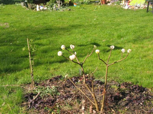 Edgewothia chrysantha