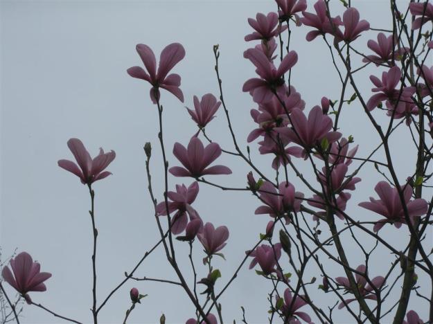 Magnolia fraseri Galaxy
