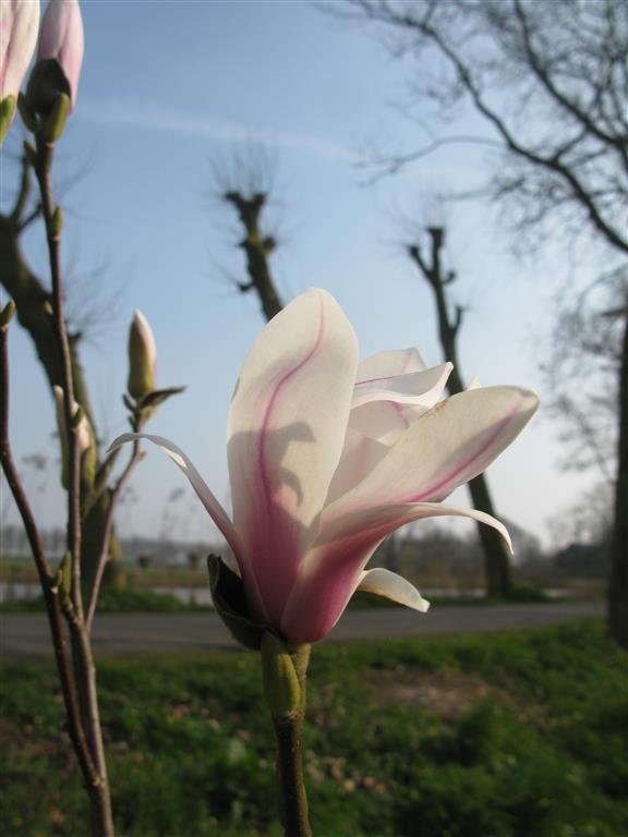 Magnolia aan het Gein