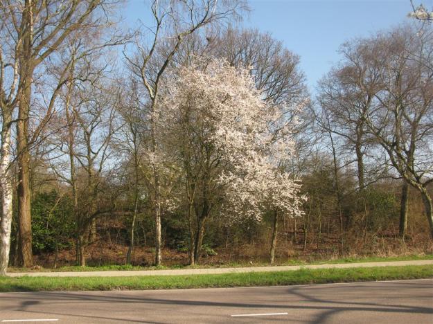 Prunus Oost