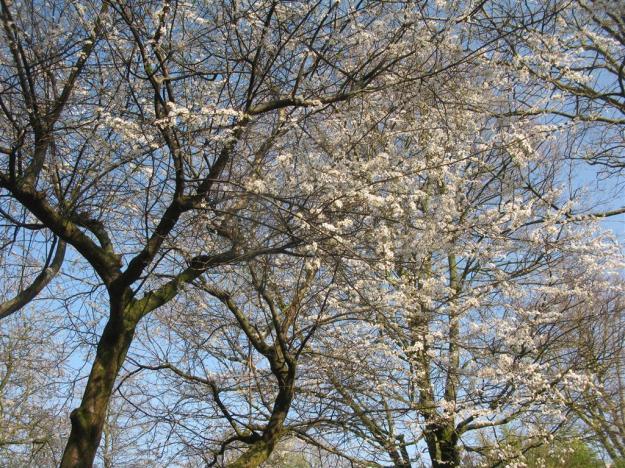 Prunus ramburii Hortus
