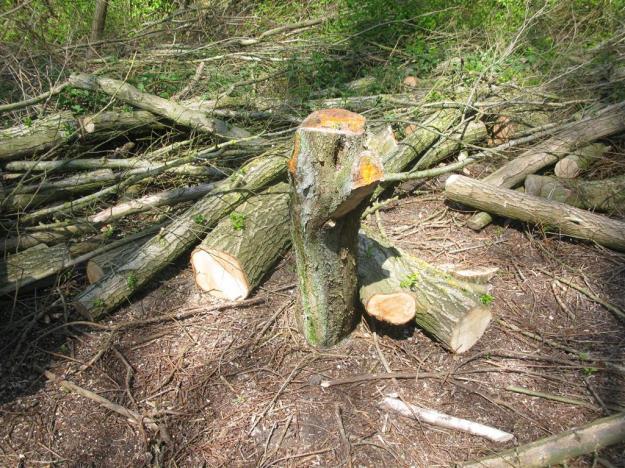 Acer campestre esdoorn