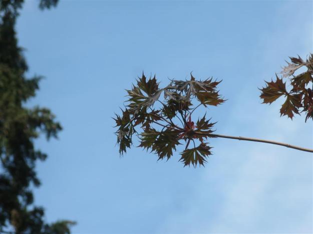 Acer platanoides Palmatifidum 35